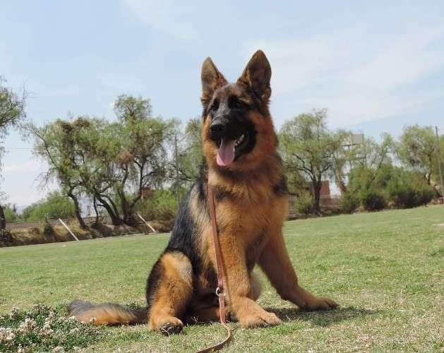 Excelentes cachorros  pastor alemán  con pedigree292041349