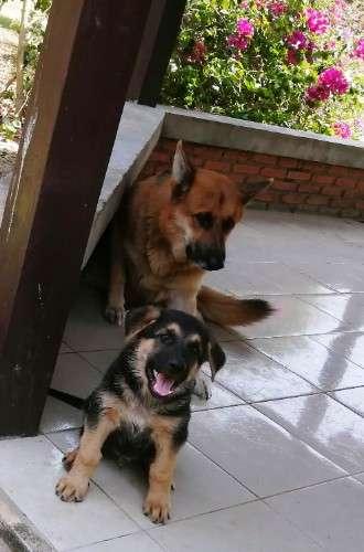 Cachorro pastor alemán1210428066