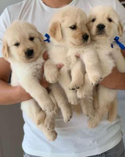 Hermosos cachorros golden retriever de 40 días11026363