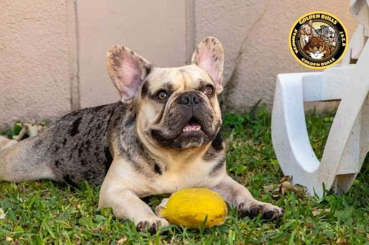 Bulldog francés busca novia 1354612460