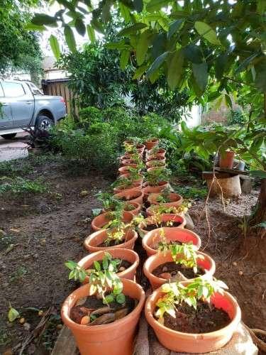Plantines de guapuru512920888