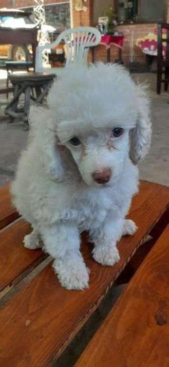Venfo hermosa caniche poodle1029255869