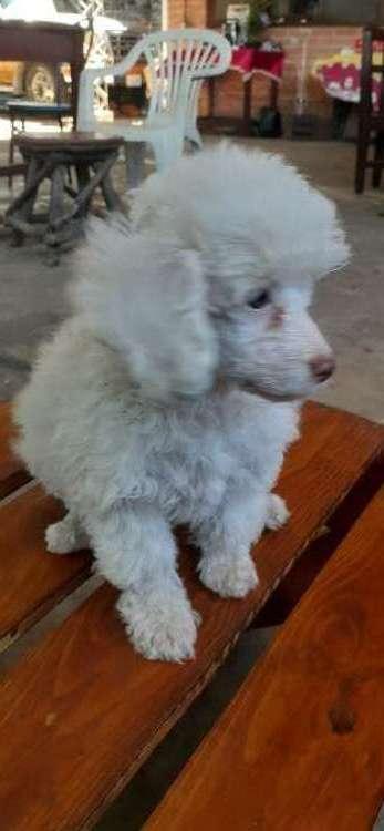Venfo hermosa caniche poodle16999055