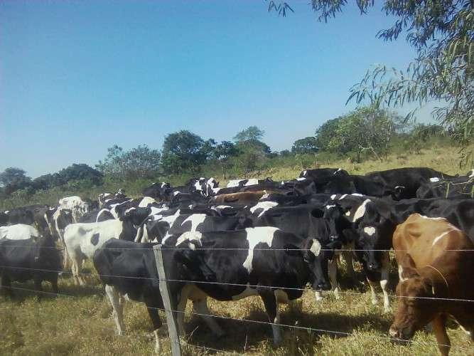 Vendo un lote de 150 vacas lecheras holandesas1872121380