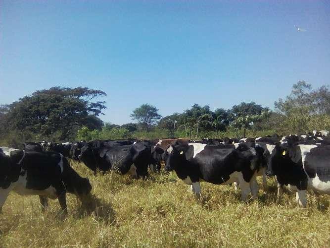 Vendo un lote de 150 vacas lecheras holandesas1540144204