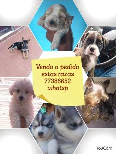Vendo cachorros de raza a pedido 1107010084