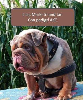 Cachorros bulldog ingles exóticos1317620695