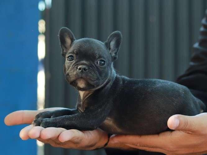 Bulldog francés desparasitados, vacunados. de ocasión1995246744
