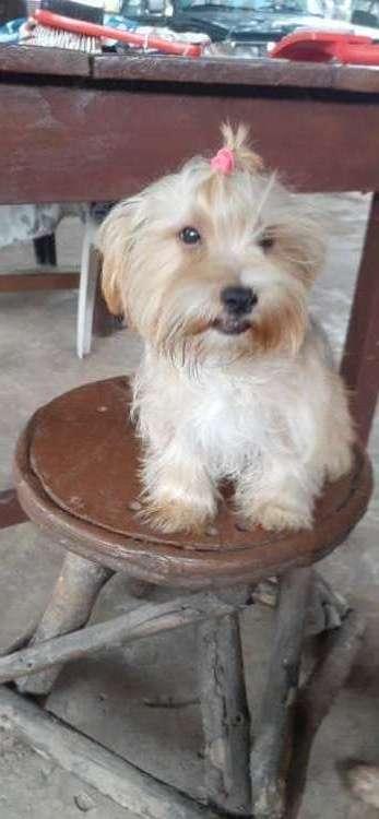 Hermoso cachorrito york shire machito dispinible1761426575