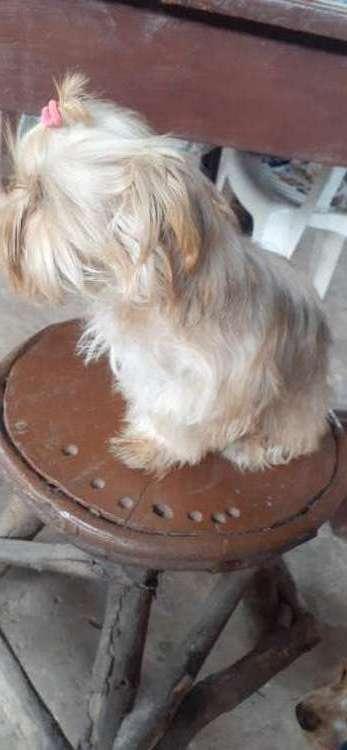 Hermoso cachorrito york shire machito dispinible669655343