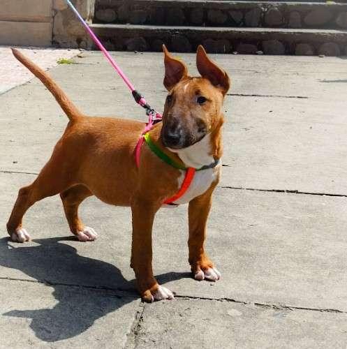 Cachorro bull terrier con pedigree692824804