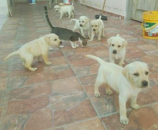 Cachorritos labrador retriever511075428