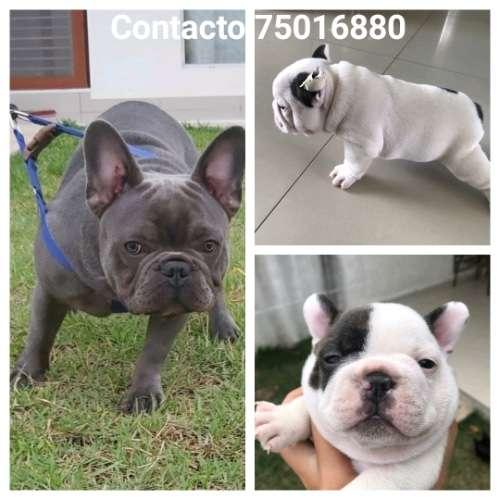 Hermoso cachorro bulldog francés 6856873