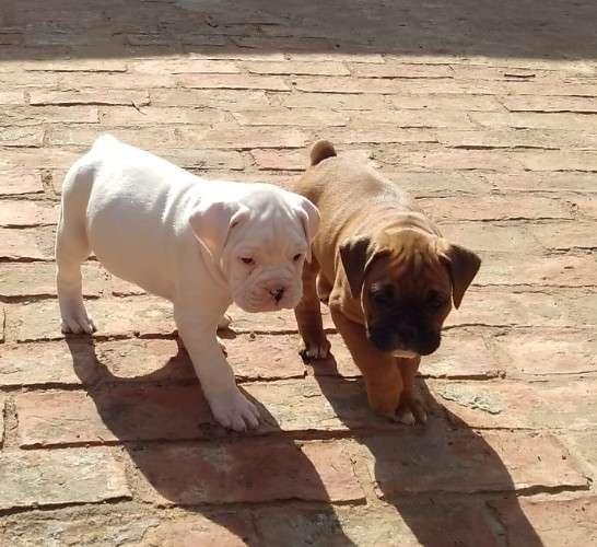 Cachorros boxer 612525146