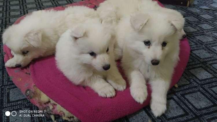 Cachorros raza samoyedo534079478